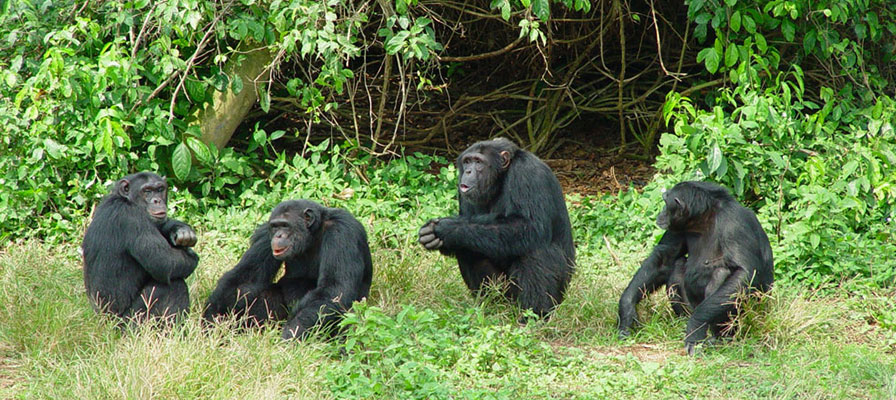Chimpanzees at Ngamba Island - 1 Day Ngamba Chimpanzee Tour