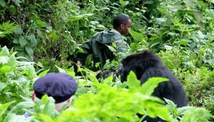 3 days gorilla habituation experience safari