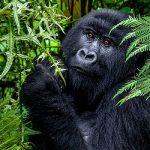 Mountain Gorilla-3 days gorilla trekking Bwindi tour