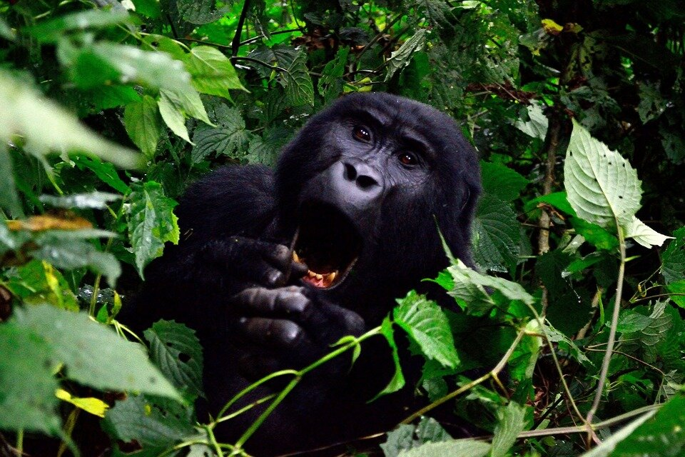 A mountain gorilla in Bwindi - 5 DAYS UGANDA GORILLA AND CULTURAL TOUR