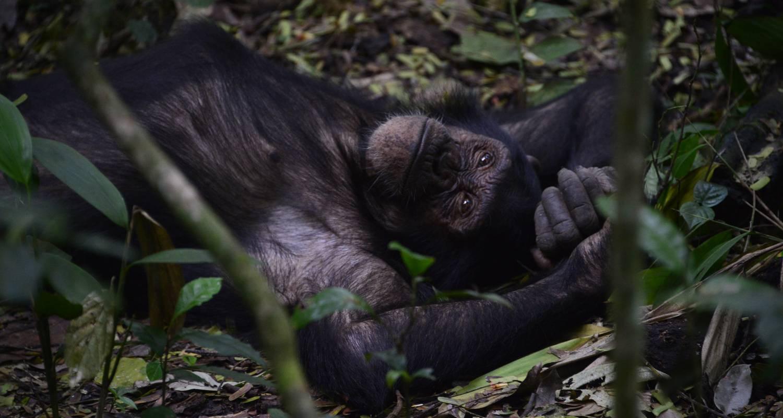 Chimpanzee - 5 Days Uganda Primates Tour