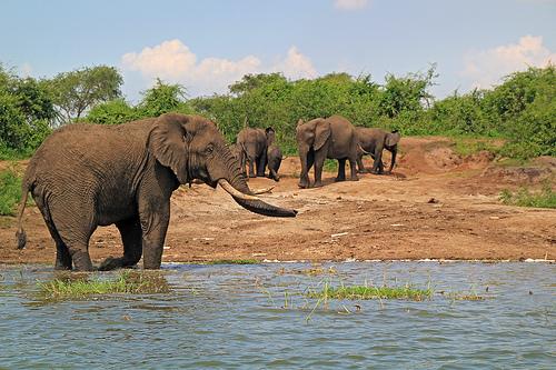Elephants on 5 days Uganda Primates and wildlife Safari
