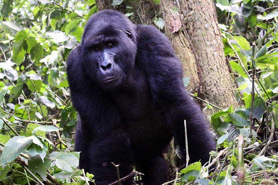 6 Days Uganda Primates and Cultural Tour gorilla