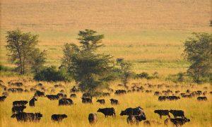 Wildlife Viewing - 4 Days Kidepo Wildlife Tour
