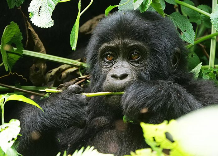 Gorilla in Bwindi - 7 days Uganda Wildlife and Primates Tour