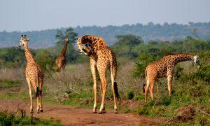 Akagera - 8 Days Rwanda And Uganda Wildlife Tour