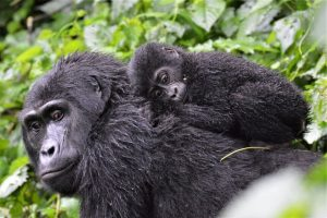 Mountain Gorilla Baby Boom In Uganda Bwindi
