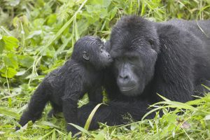 Mountain Gorilla Baby Boom In Uganda