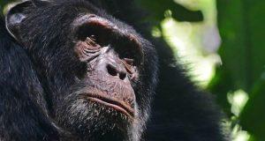 Chimpanzee - 3 Days Kibale Forest Chimpanzee Trekking Safari