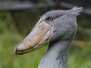 17 Days Uganda Safari and Rwanda Tour - shoebill stork