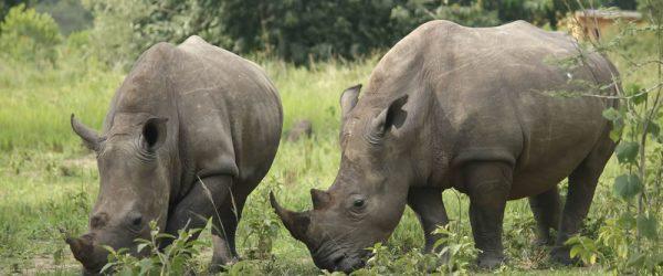 1 Day Rhino Trekking Tour - All Uganda safaris