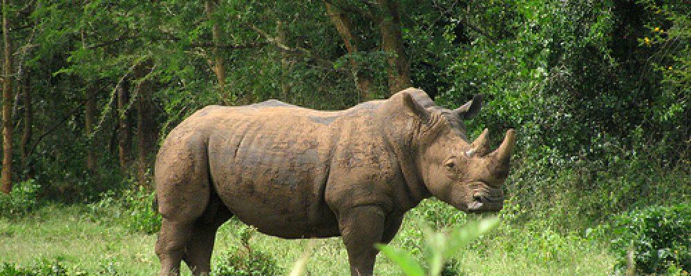 1 Day Rhino Trekking Tour at Ziwa Uganda safari