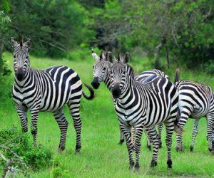 Zebras on 2 Days Lake Mburo Tour