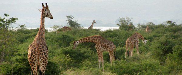 Giraffes on a 2 Days Murchison Falls Safari