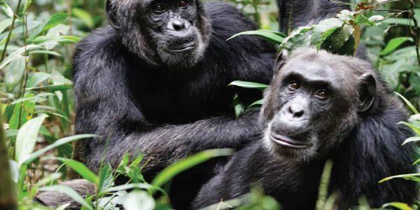 Chimps on 6 Days Uganda Chimpanzees and Big Five Tour