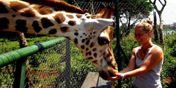 Entebbe zoo - woman feeding a giraffe -1 Day Entebbe Tour